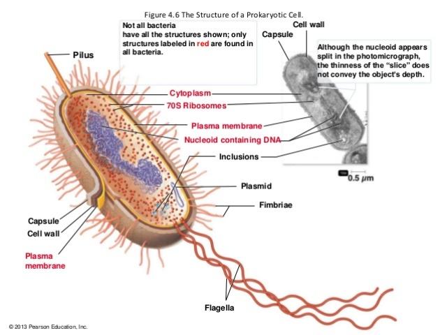 1 microbial world and prokaryotic cell anatomy 35 638
