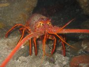 1200px California spiny lobster