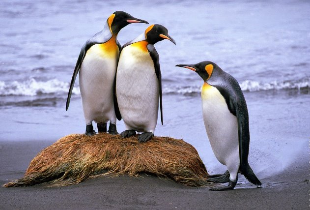 kingpenguins (1)