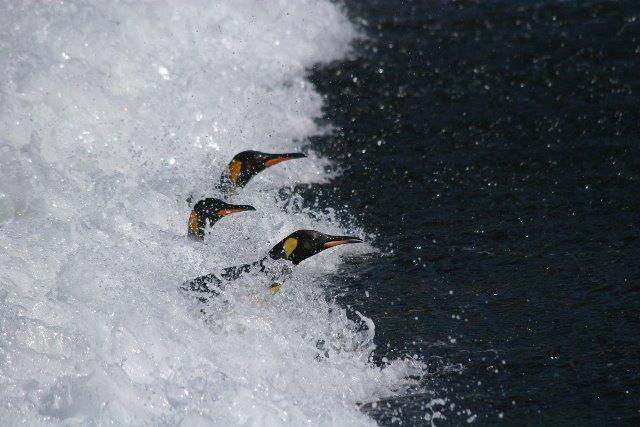 kingpenguins (2)