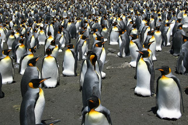 kingpenguins (3)