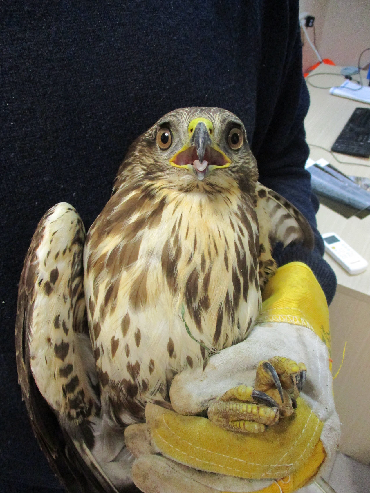 tap rescued buzzard
