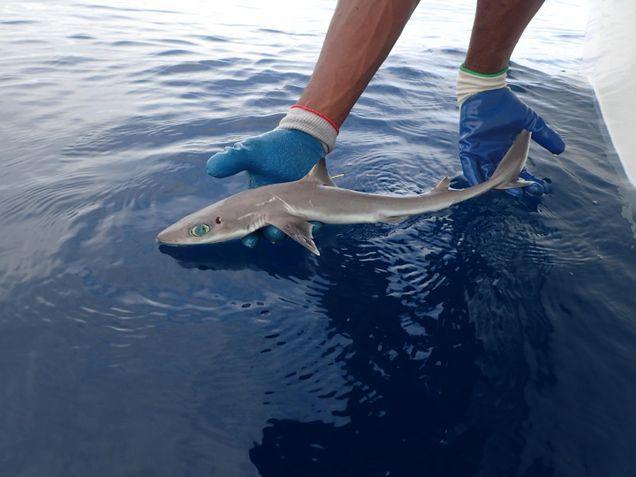 καρχαρία