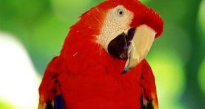 παπαγάλου