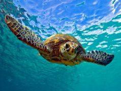 χελωνών