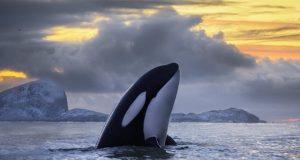 φάλαινες δολοφόνων