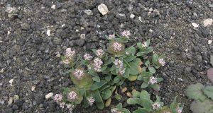 Aethionema arabicum