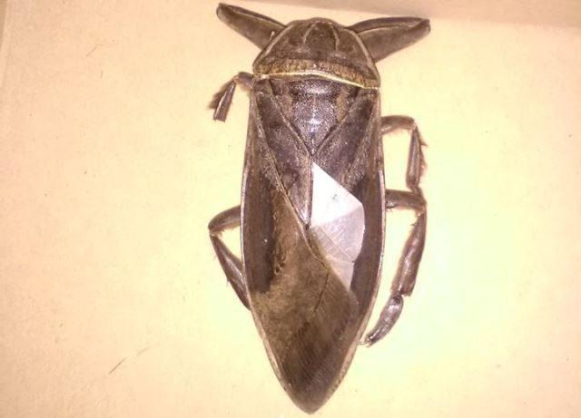 σαρκοφάγο έντομο