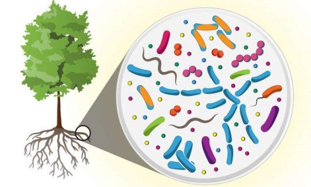 Populus microbiome