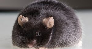 mice lose