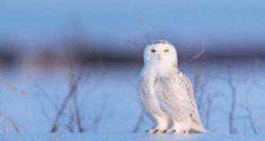 Snowy Owl Portrait. (KarynS)