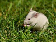 rats small rat 1388829 960 720
