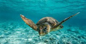 Θαλάσσια Χελώνα (Caretta caretta)