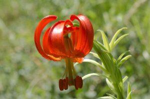 Κόκκινος Κρίνος (Lilium chalcedonicum)