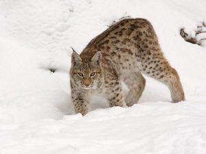 Λύγκας Ευρασιατικός (Lynx Lynx)