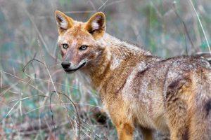 Τσακάλι (Canis aureus)