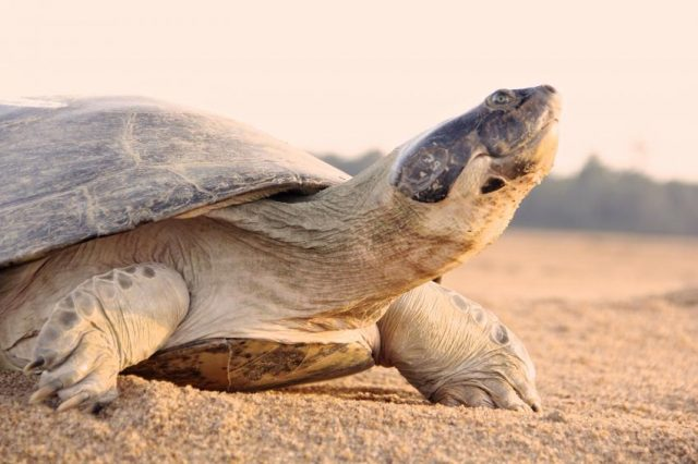 Giant South American Turtle