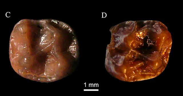 fossil ape 1