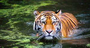 tiger 2535888 960 720