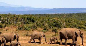 ελεφαντες