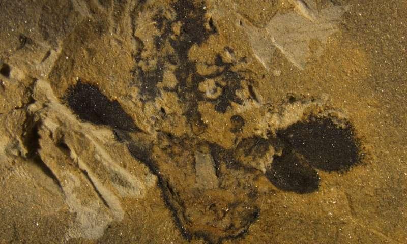 Nanjinganthus απολίθωμα
