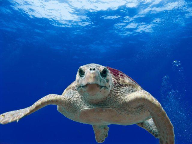 loggerhead turtle 123402 960 720