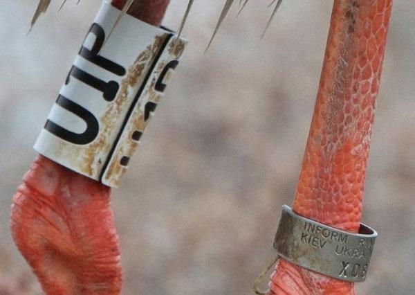 Η φωτογραφία του Πέτρου Τσακμάκη όπου φαίνεται το δαχτυλίδι Φωτογραφία ΚΕΠΕΝ Καλλονής