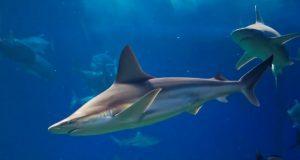 σταχτοκαρχαρίες