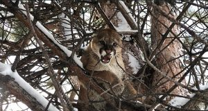 cougar A