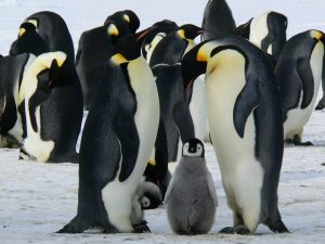 penguins 429128 960 720