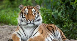 tiger a