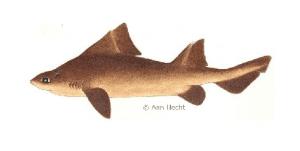 angular shark