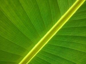 banana tree 50020 960 720
