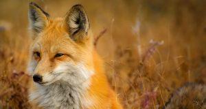 fox 1883658 960 720
