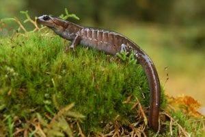 northwestern salamander 1259799 960 720