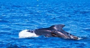 pilot whales 481974 960 720