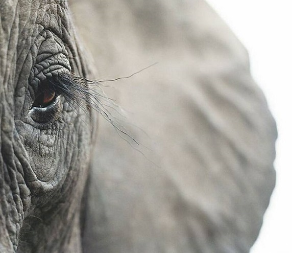 afrikanikos elefantas