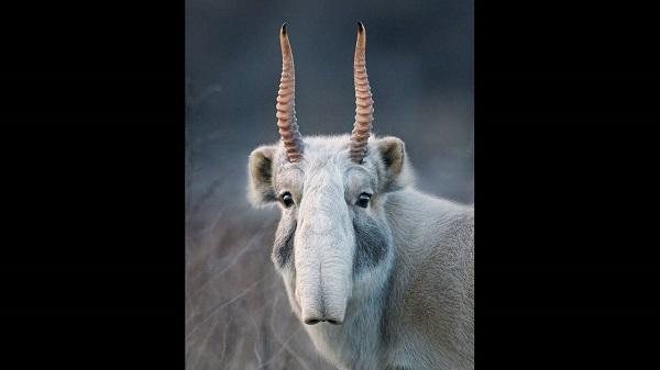 antilopi saigka