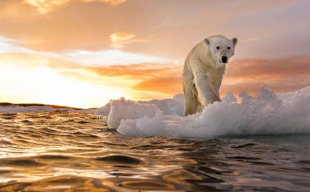Κλιματική αλλαγή, αρκούδα