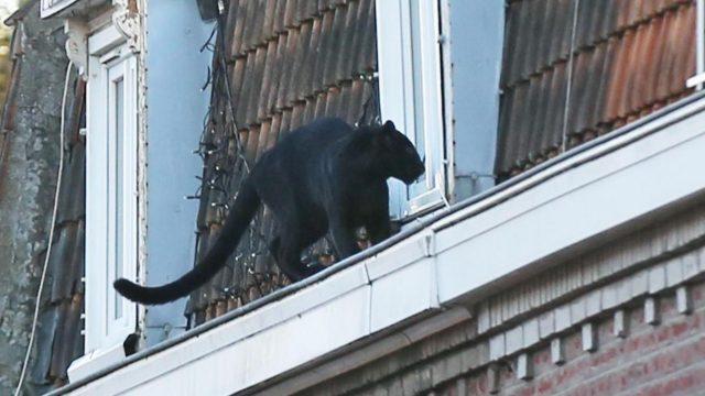 Γαλλία: Πάνθηρας βγήκε βόλτα στις στέγες σπιτιών