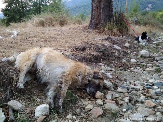 Φόλες σε σκυλιά-φύλακες στο Αμύνταιο και τη Φλώρινα - Έκκληση από τις οργανώσεις