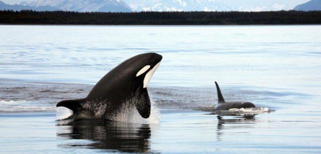 orka 1