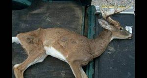 Συναγερμός στις ΗΠΑ για τα ελάφια «ζόμπι»