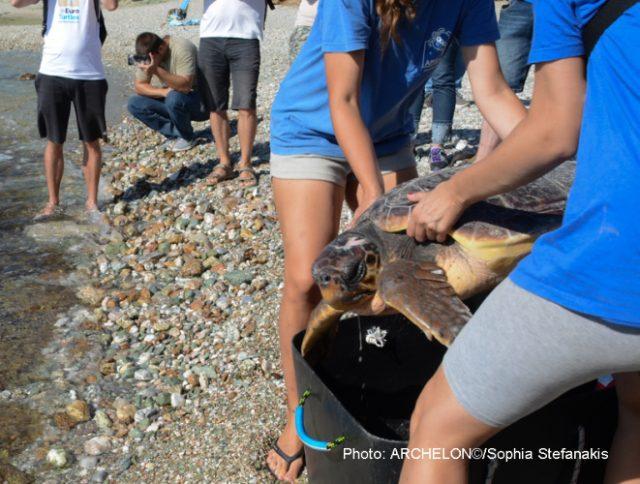 Ο ΑΡΧΕΛΩΝ απελευθέρωσε δύο ακόμη θεραπευμένες θαλάσσιες χελώνες