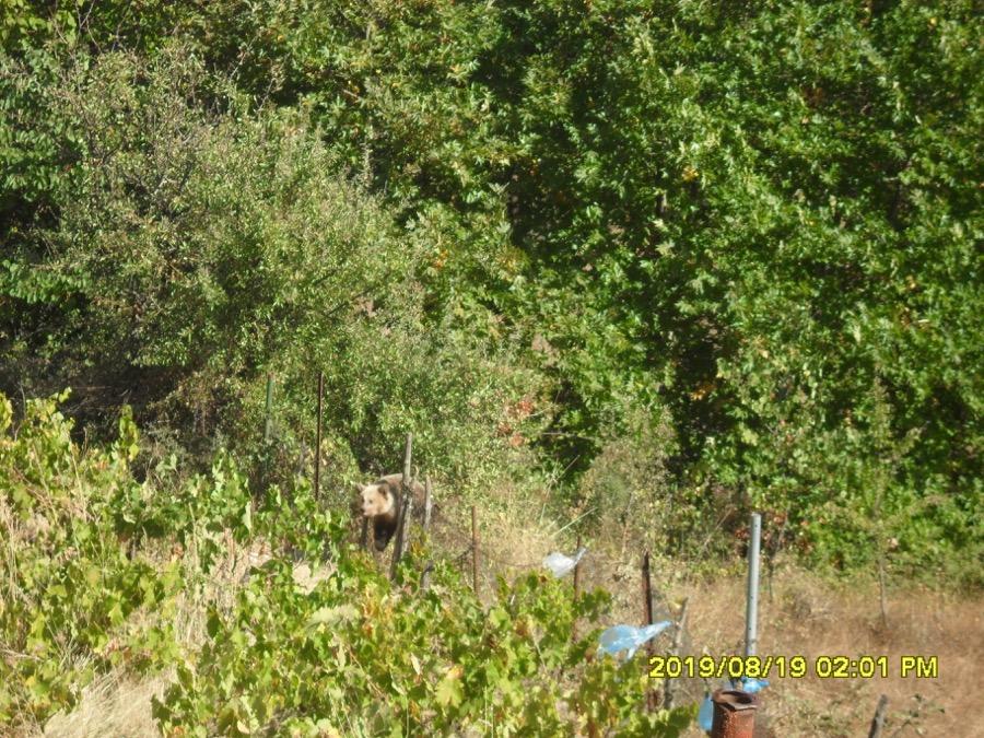 Απελευθερώθηκε αρκουδάκι που πιάστηκε με παράνομη παγίδα στα Τρίκαλα