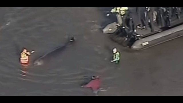 Βρέθηκε νεκρή φάλαινα 10 μέτρων στον Τάμεση