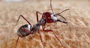 Τα ασημένια μυρμήγκια της Σαχάρας κατέχουν το ρεκόρ ταχύτητας