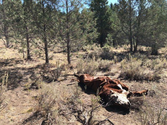 Γιατί σκοτώνουν τους ταύρους και κόβουν τα γεννητικά τους όργανα;