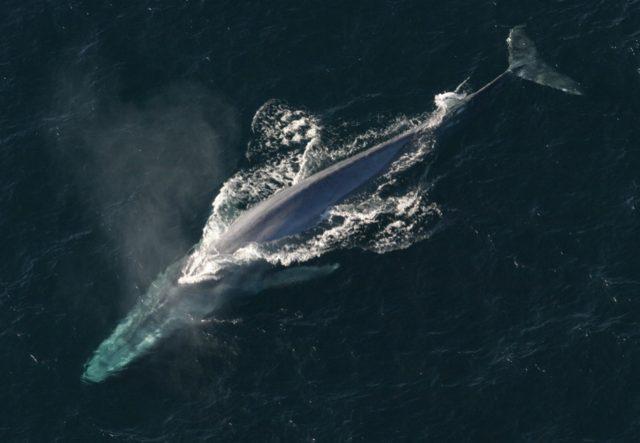 Γαλάζια φάλαινα