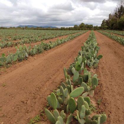Desserto cactus leather 7